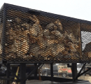 Dead coyotes in a cage on top of a truck at the West Texas Big Bobcat Contest